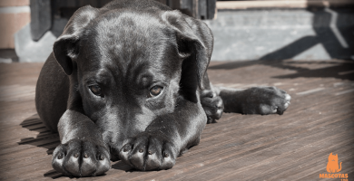 Remedios caseros para las pulgas en perros