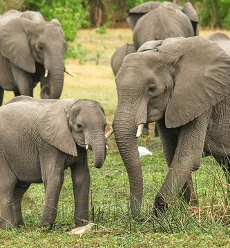¿Cuánto pesa un elefante?