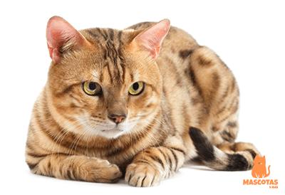 Cuidados de un gato en celo