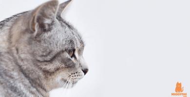 Todo sobre el celo en los gatos - Macho y hembra