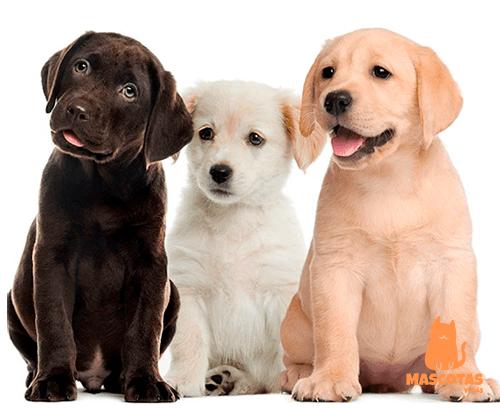 Perros labrador cachorros