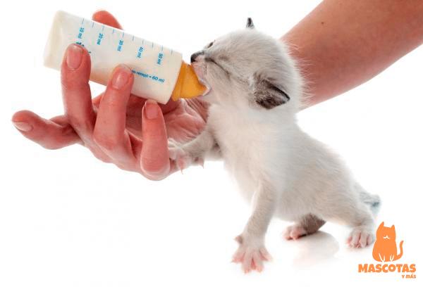 Alimentado gatito bebé