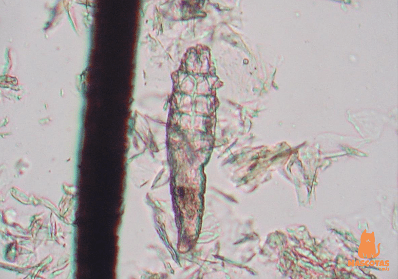 Ácaro Demodex canis