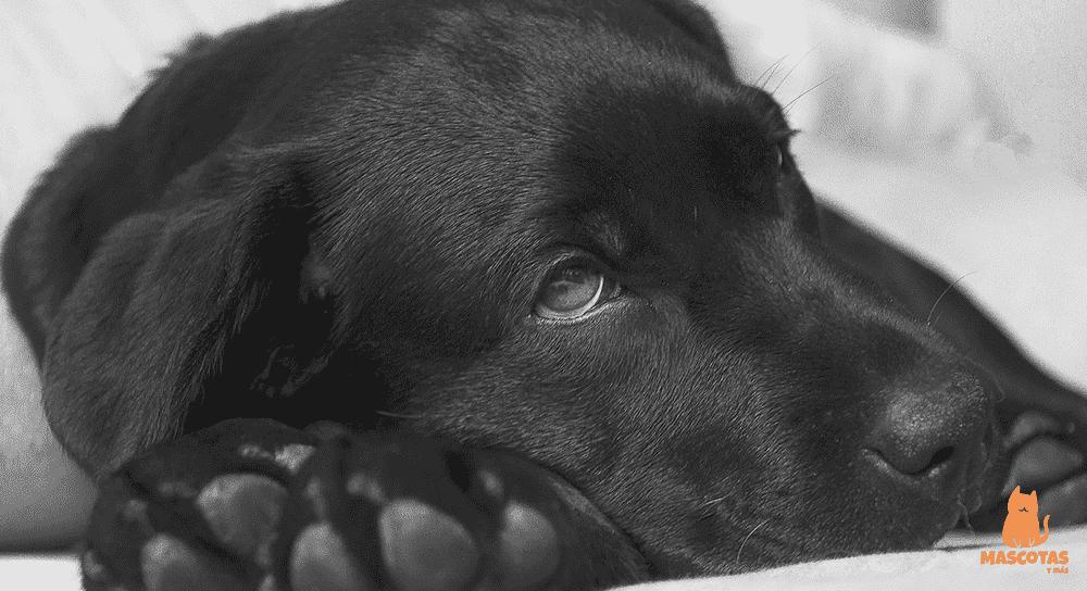 Como afecta el coronavirus a los perros