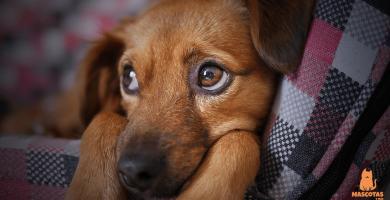 Sarna demodécica en perros: Síntomas y tratamiento