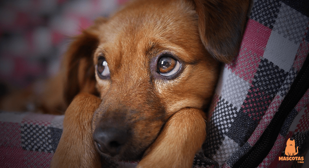 Sarna demodécica en perros