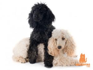 Pareja de perros caniche medianos