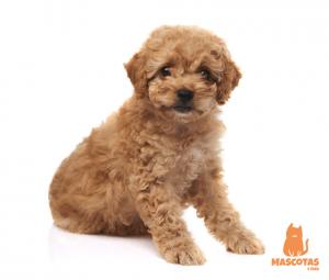 Perro caniche mini toy