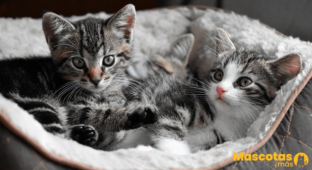 Educar un gato pequeño